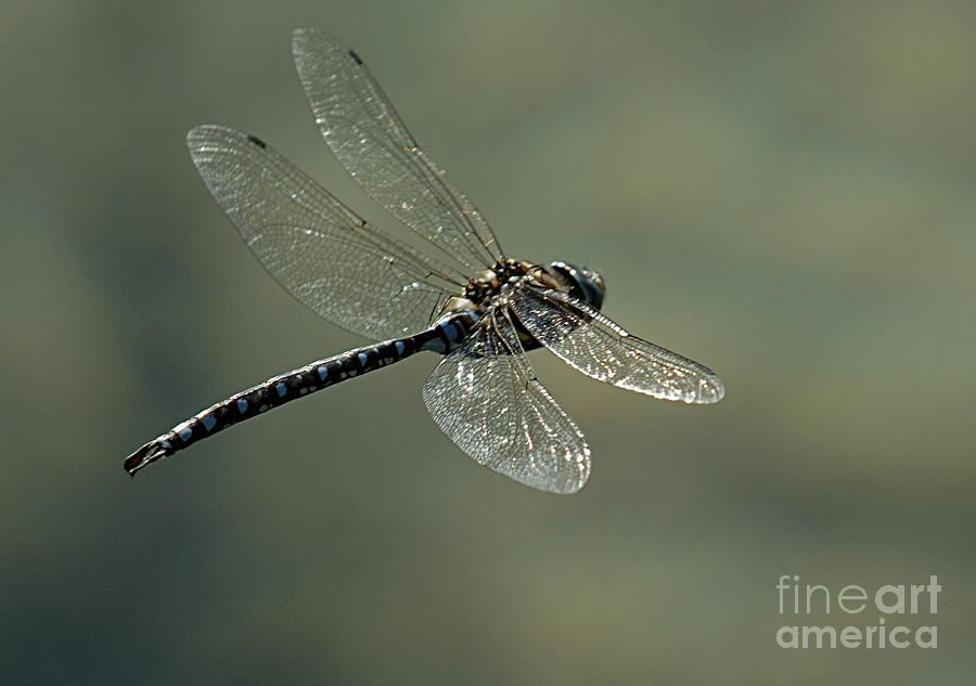 Dragonfly Photograph - Dragonfly In Flight by Bob Christopher