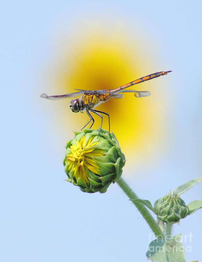 Nature Photograph - Dragonfly In Sunflowers by Robert Frederick