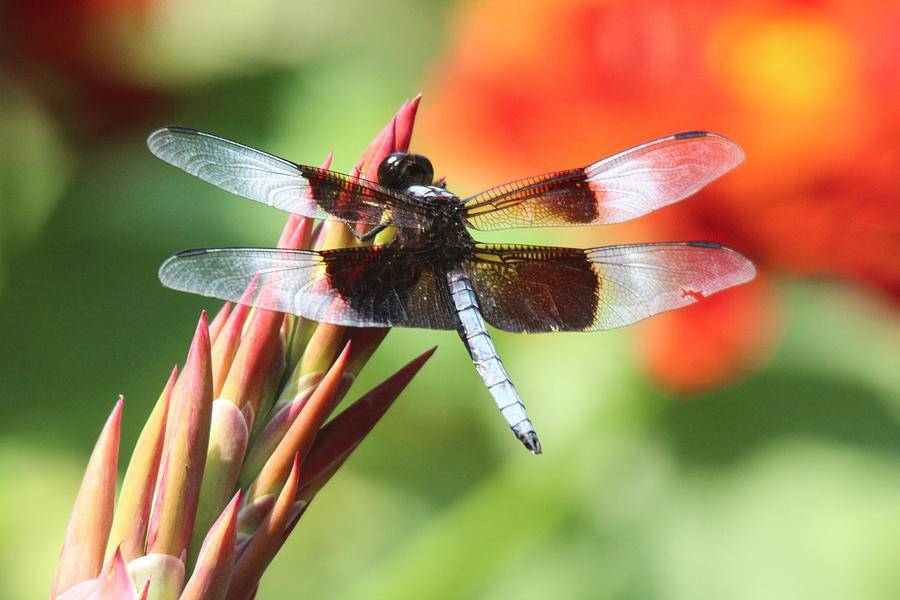 Insects Photograph - Dragonfly by Jill Bell
