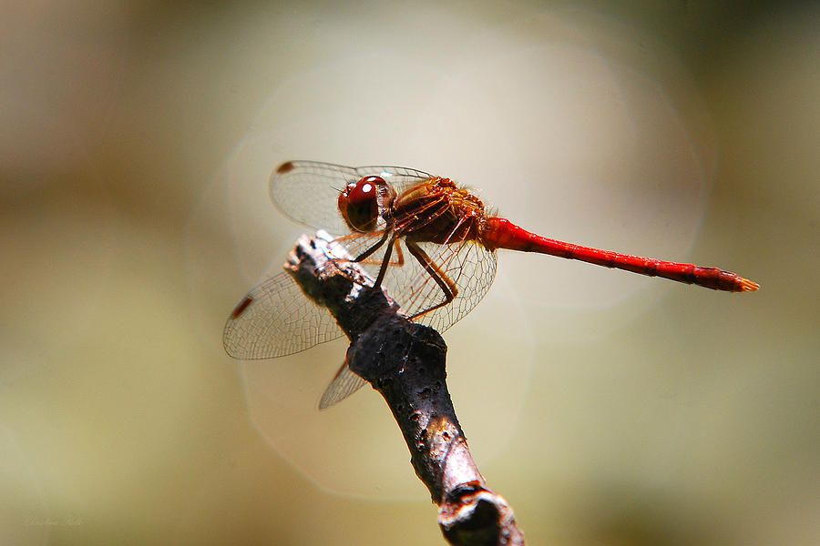Dragonfly Photograph - Dragonfly Light by Christina Rollo