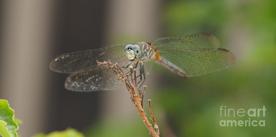 Dragonfly Photograph - Dragonfly by Megan Cohen