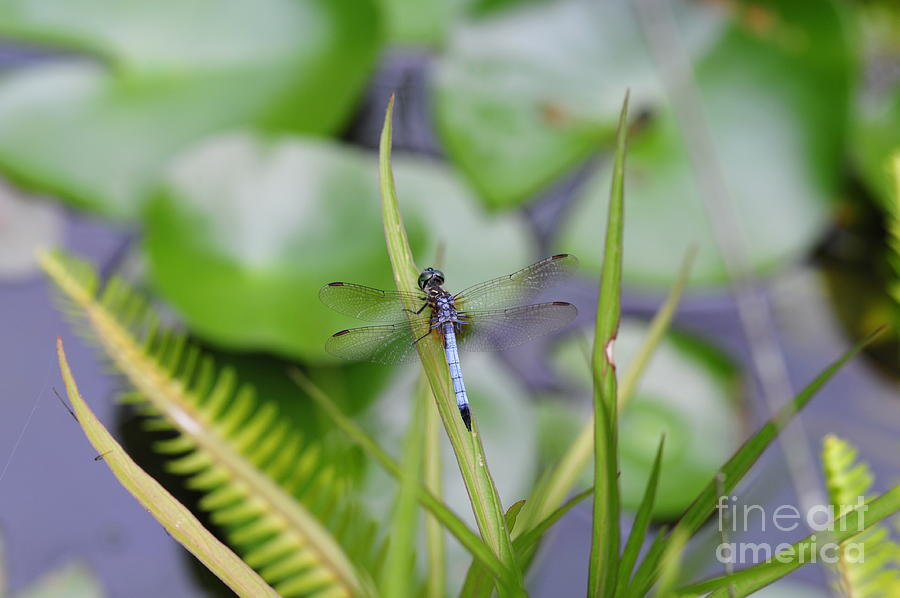 Dragonfly on Grass over Pond with Fish by Wayne Nielsen