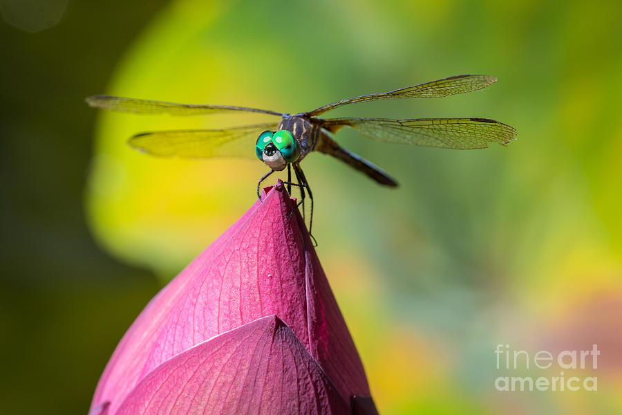 Dragonfly On Waterlily Photograph