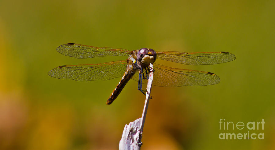 Dragonfly Portrait Photograph - Dragonfly Portrait by Mitch Shindelbower