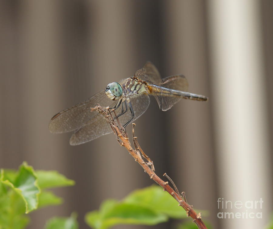 Dragonfly Photograph - Dragonfly Profile by Megan Cohen