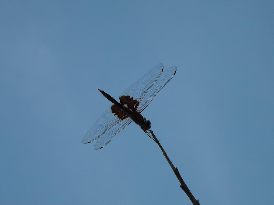Dragonfly Photograph by Rebecca Cearley
