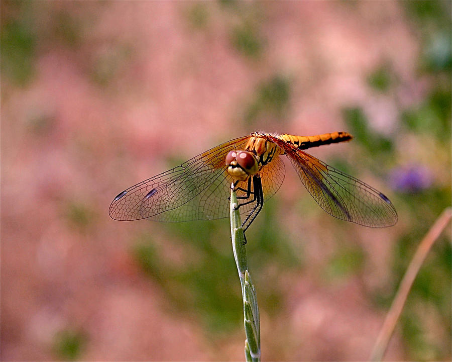 Dragonflies Photograph - Dragonfly by Rona Black