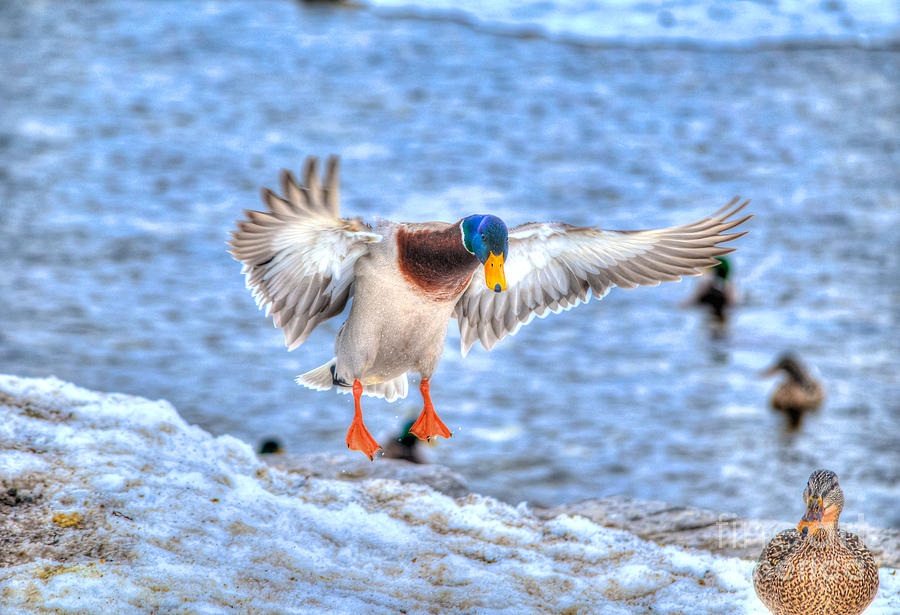 Duck Photograph - Drake Alighting by Skye Ryan-Evans