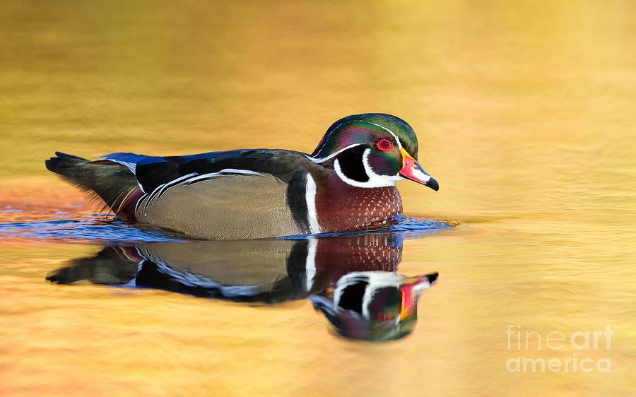 Pond Photograph - Drake Wood Duck by Joshua Clark