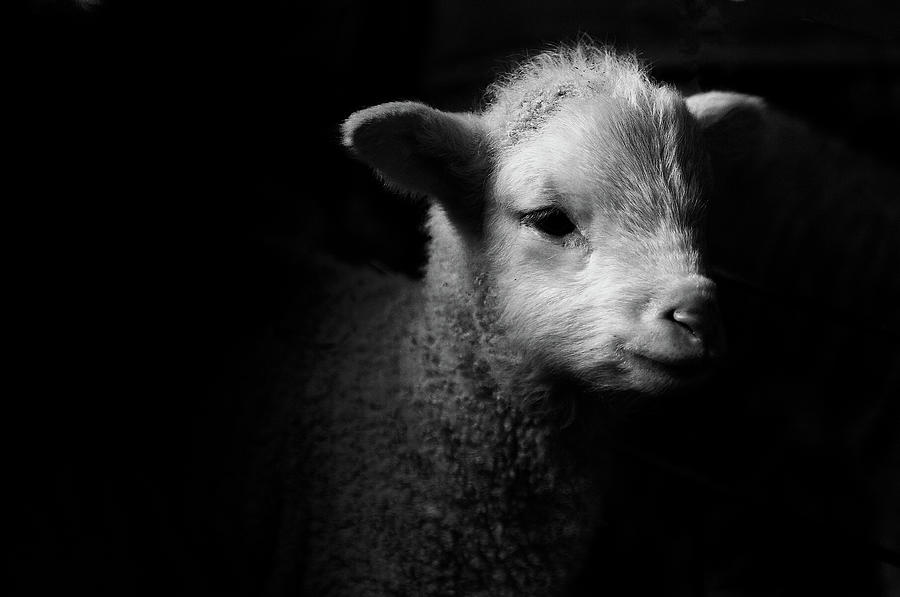 Dramatic Lamb Black & White Photograph by Michael Neil Odonnell