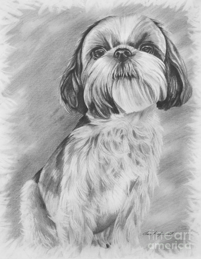 Drawing Of A Shih Tzu Drawing by Lena Auxier