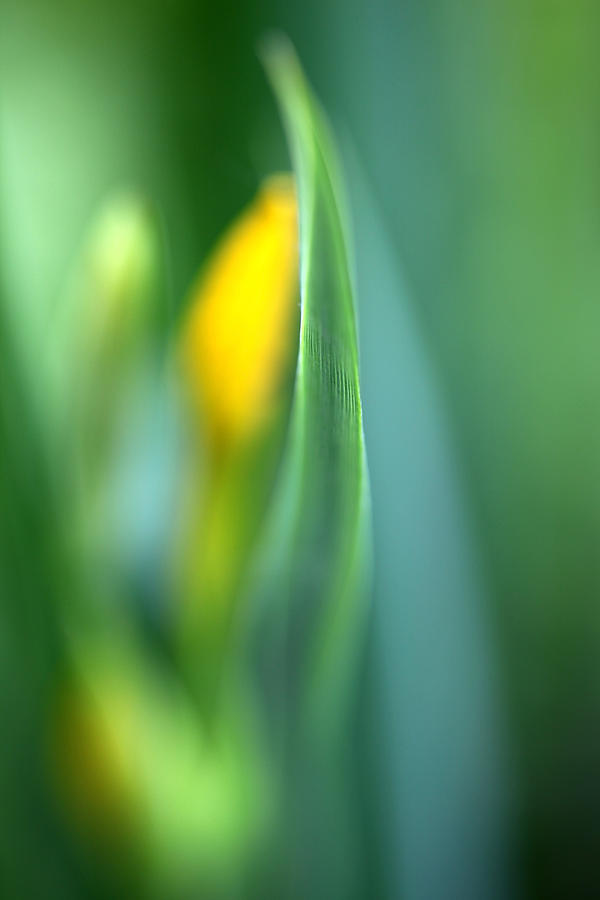 Iris Photograph - Dream by Annie Snel