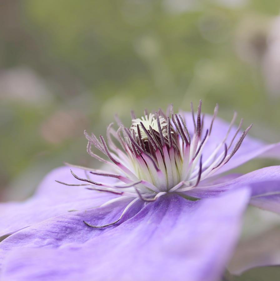 Purple Flower Photograph - Dreaming by Kim Hojnacki