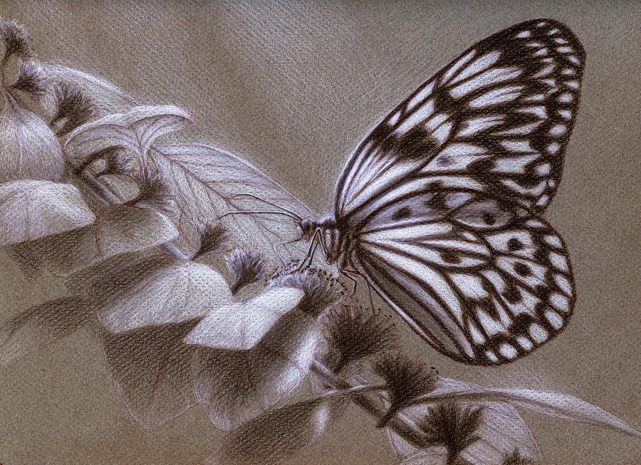Butterfly Drawing - Dreams Sketch by Shawn Kawa