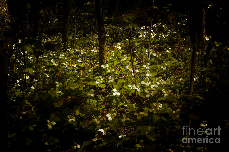 Dreamscapes - Trillium Gathering by Kathi Shotwell
