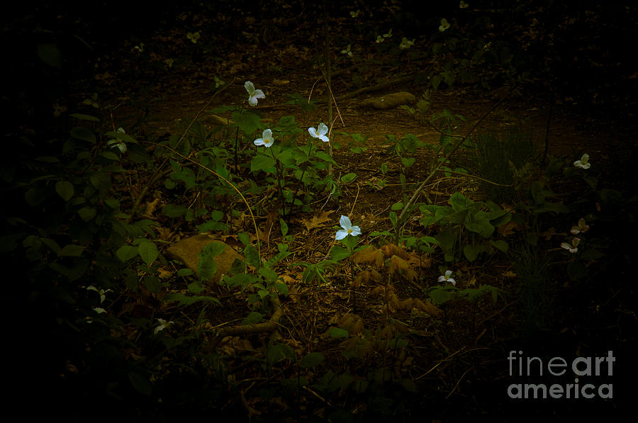 Dreamscapes - Trillium scattered by Kathi Shotwell