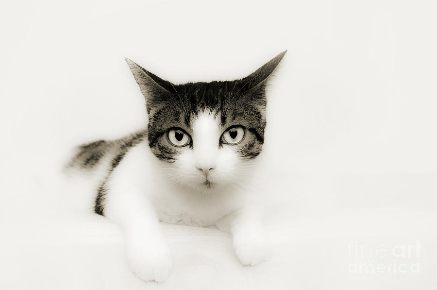 Cat Photograph - Dreamy Cat by Andee Design