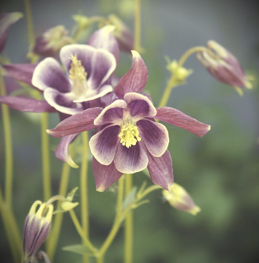 Columbine Flower Digital Art - Dreamy Columbine Flowers by Cathie Tyler