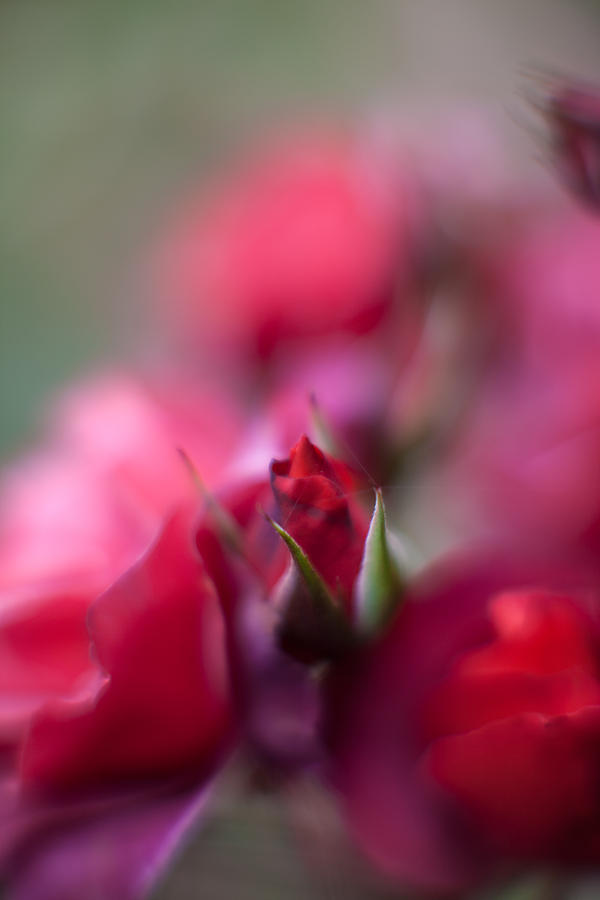 Rose Photograph - Dreamy Nest by Mike Reid