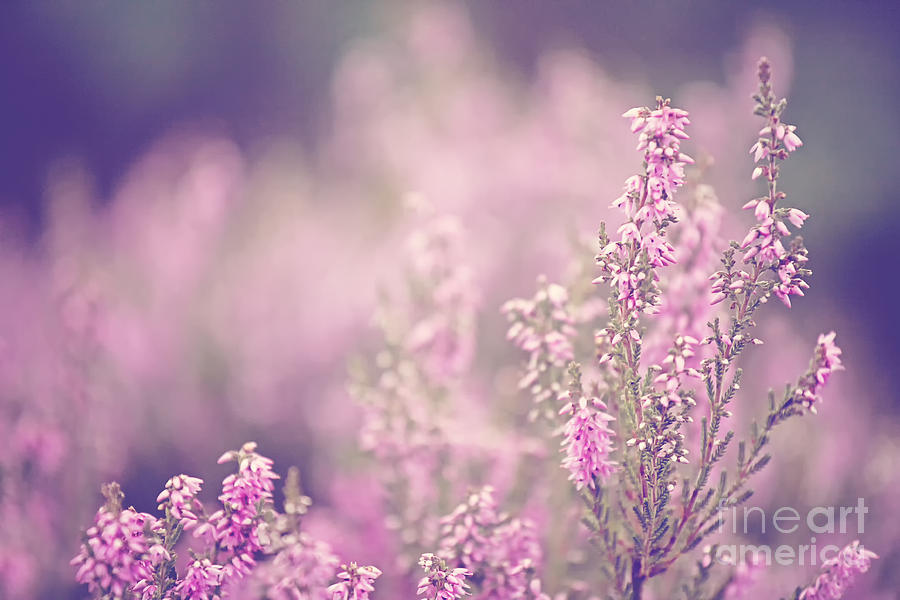 Pink Photograph - Dreamy Pink Heather by Natalie Kinnear