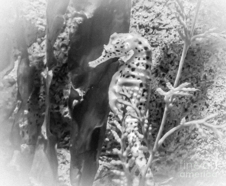 Seahorse photograph dreamy seahorse in black and white by charlene gauld