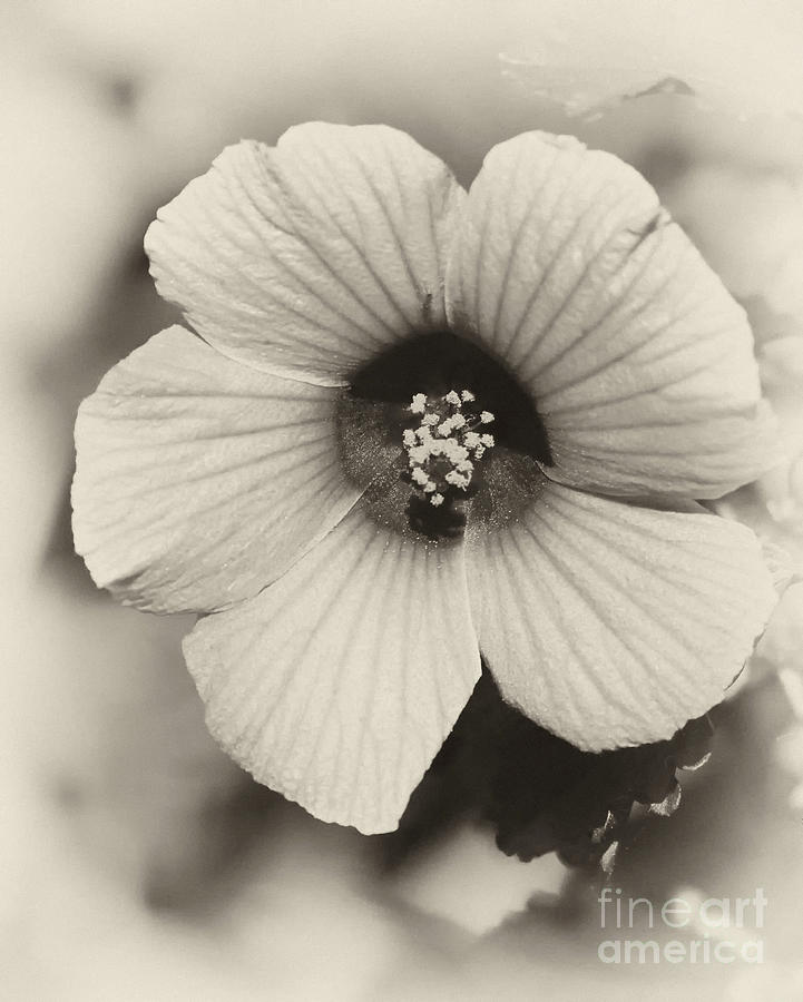 Macro Photograph - Dreamy Sepiatone Rosette Hibiscus by Sabrina L Ryan