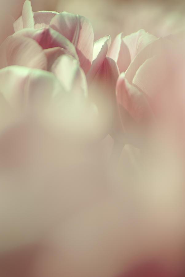 Tulips Photograph - Dreamy Tulips by Jani Freimann