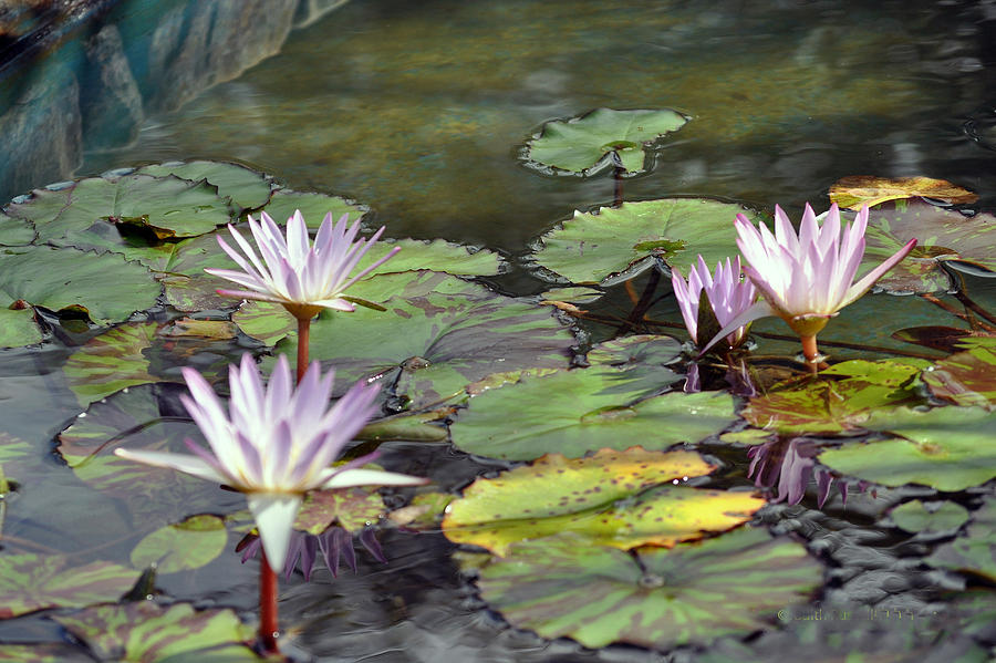 Flowers Photograph - Dreamy  Water Lillies by Judith Russell-Tooth