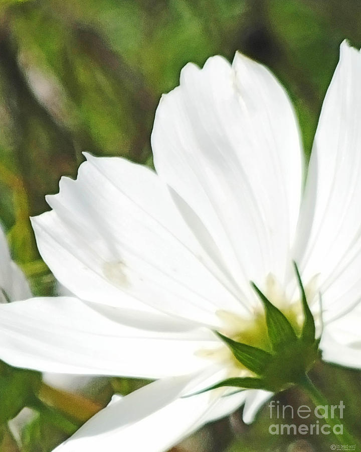 Flower Photograph - Dreamy White Cosmos by Lizi Beard-Ward