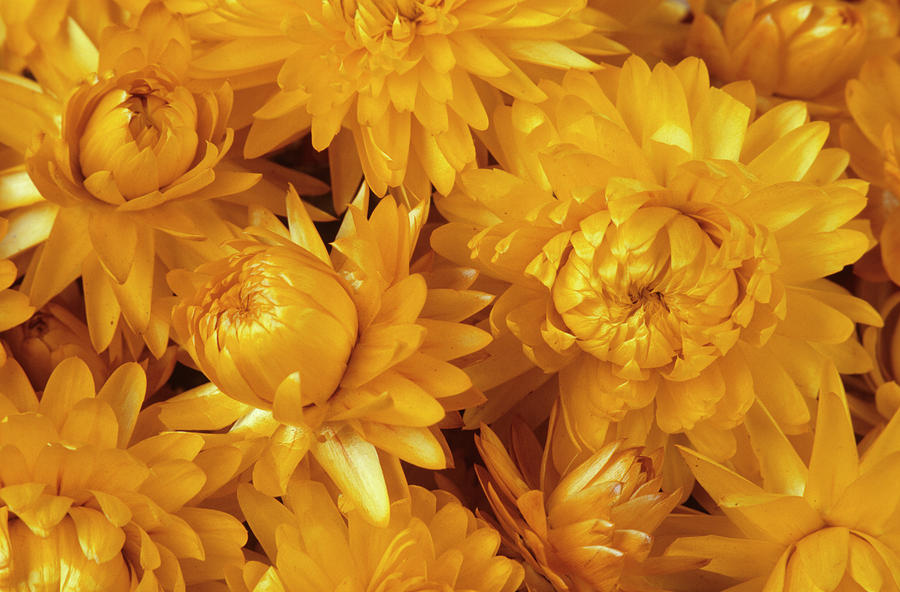 Everlasting Flower Photograph - Dried Straw Flowers (helichrysum Sp.) by Ann Pickford/science Photo Library