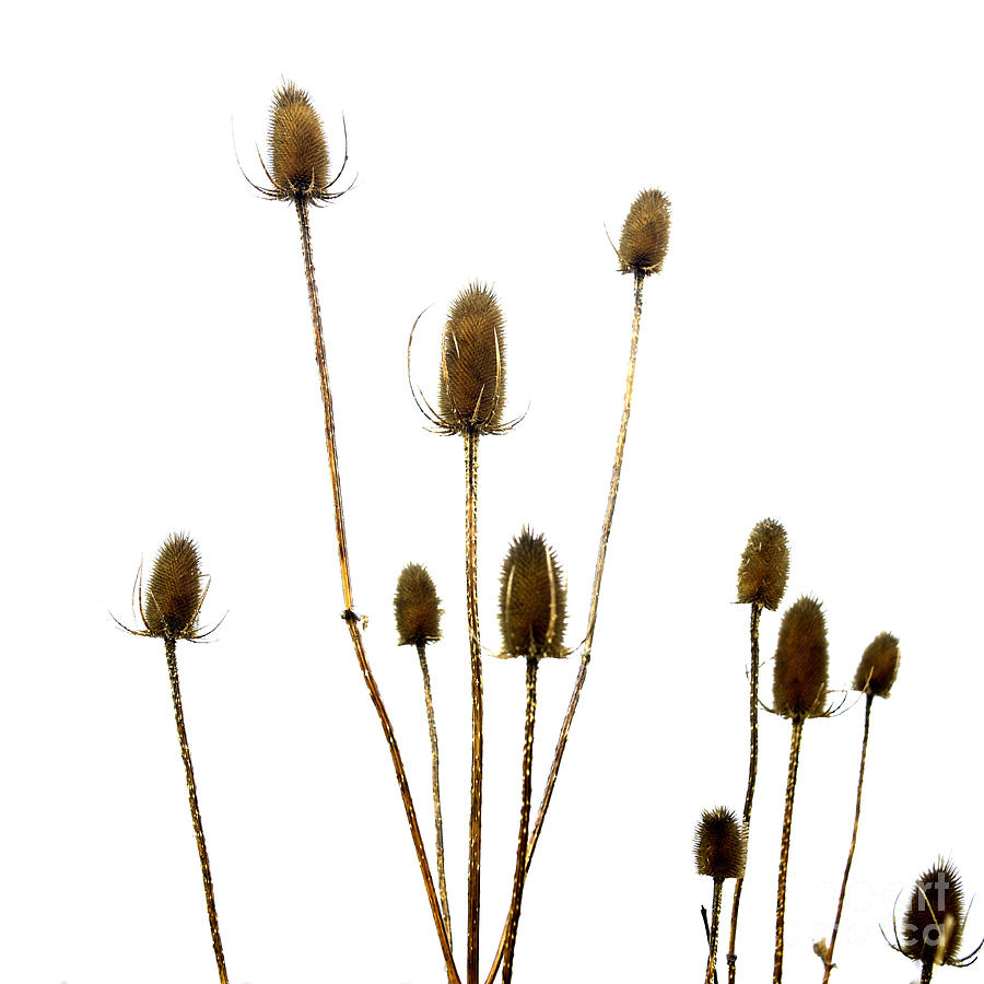 Dried Photograph - Dried Thistle by Bernard Jaubert