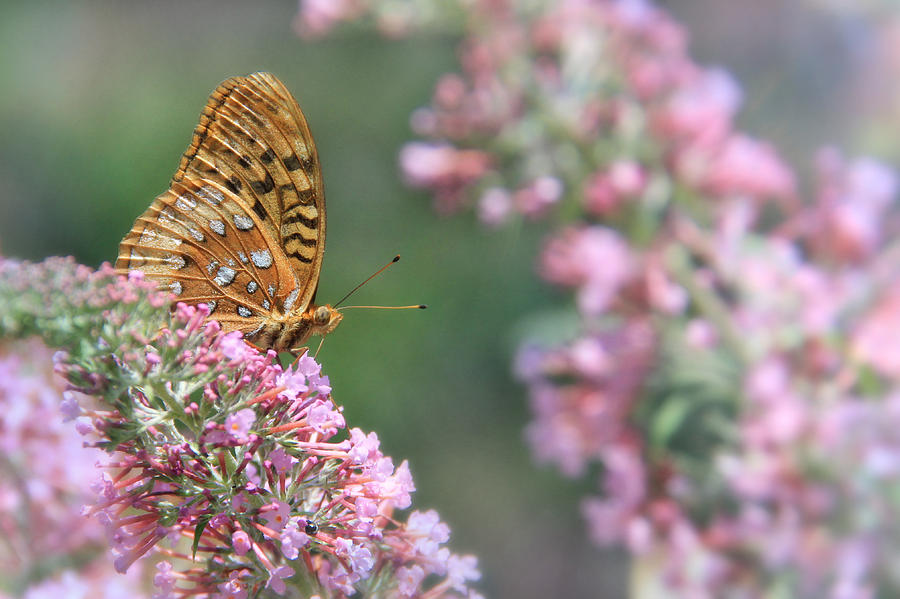 Butterfly Photograph - Drink Pink by Lori Deiter