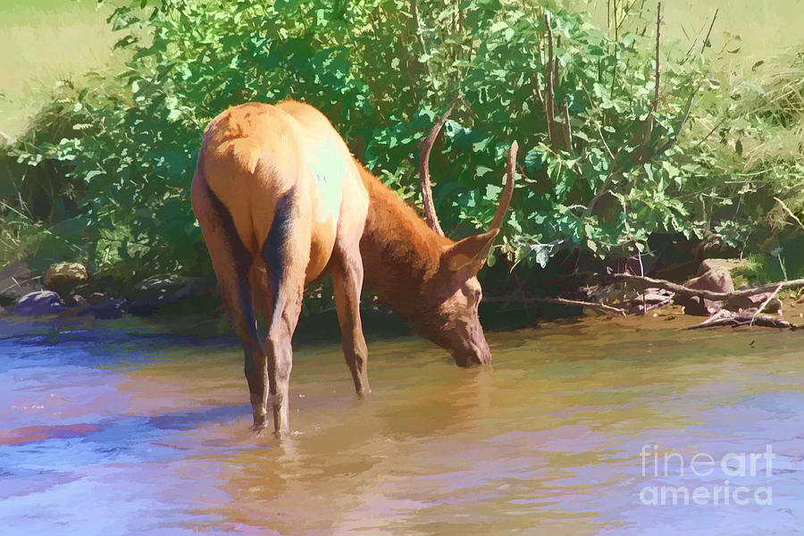Elk Photograph - Drinking Elk by Audreen Gieger