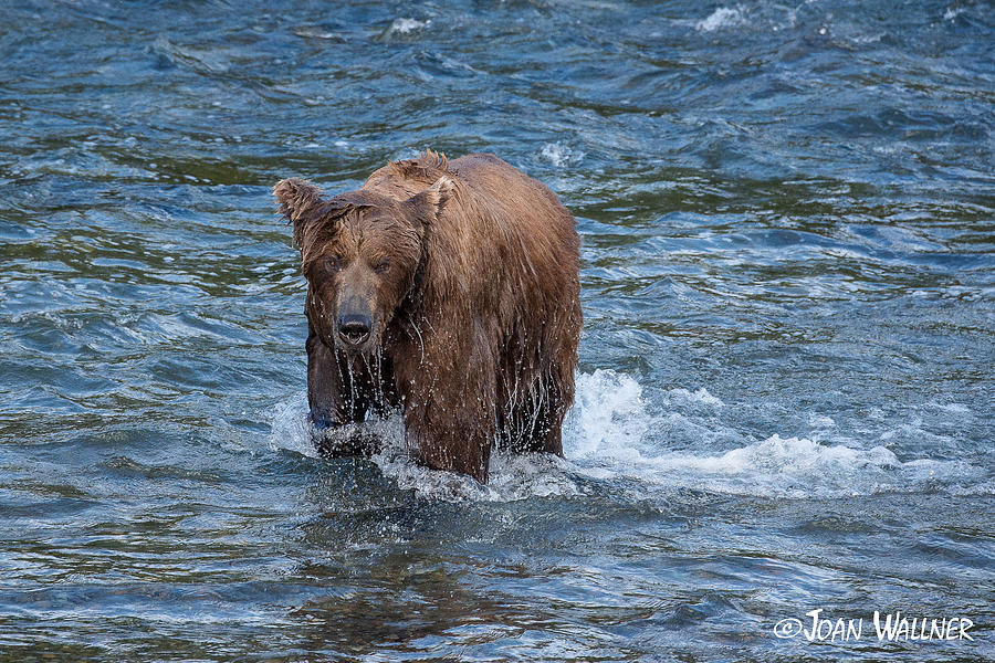 Alaska Photograph - Dripping Grizzly by Joan Wallner