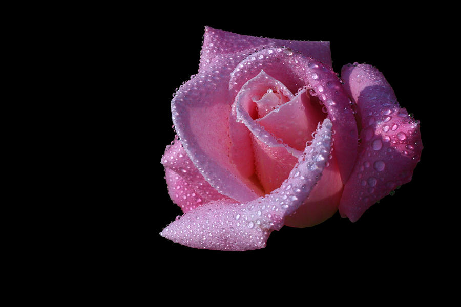Rose Photograph - Droplets by Doug Norkum
