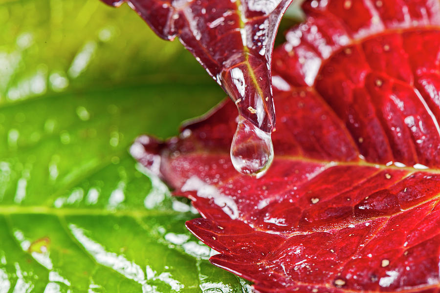 Drops On Colorful Foliage In Autumn Photograph by Georg Hanf