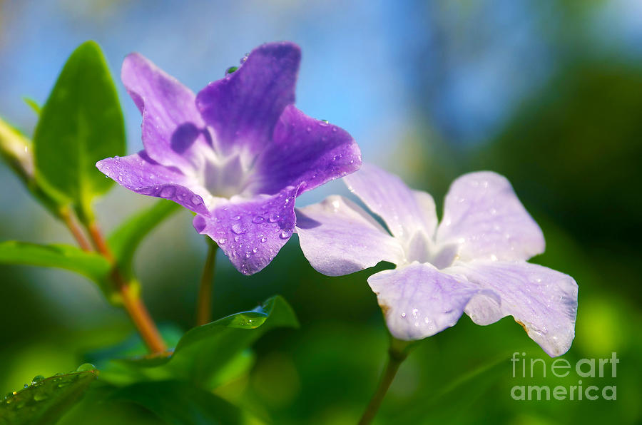 Abstract Photograph - Drops On Violets by Carlos Caetano