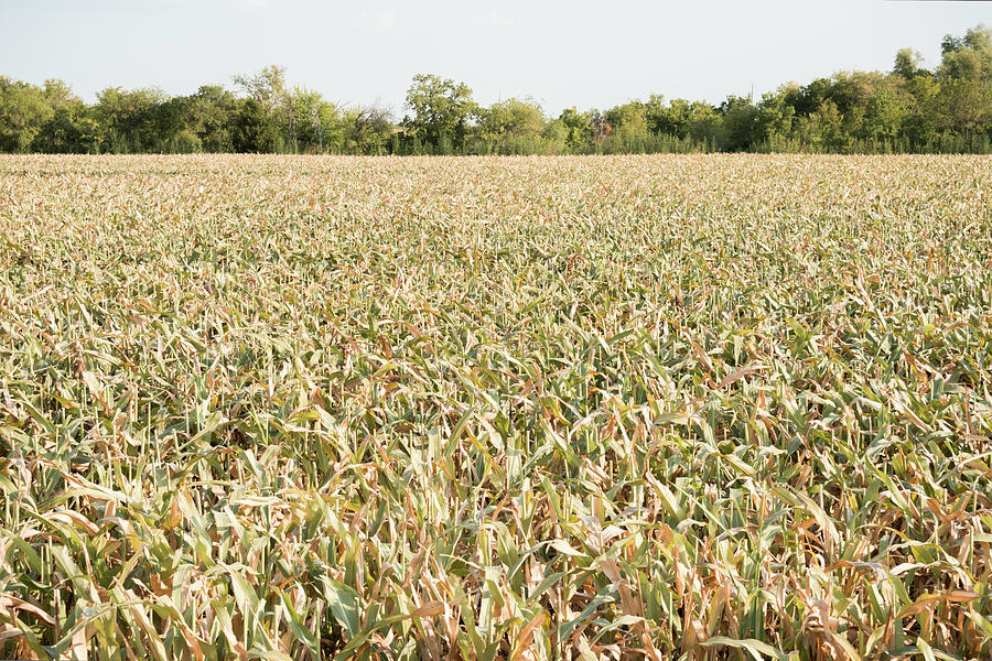 Drought Ravaged Crops Photograph by Dszc
