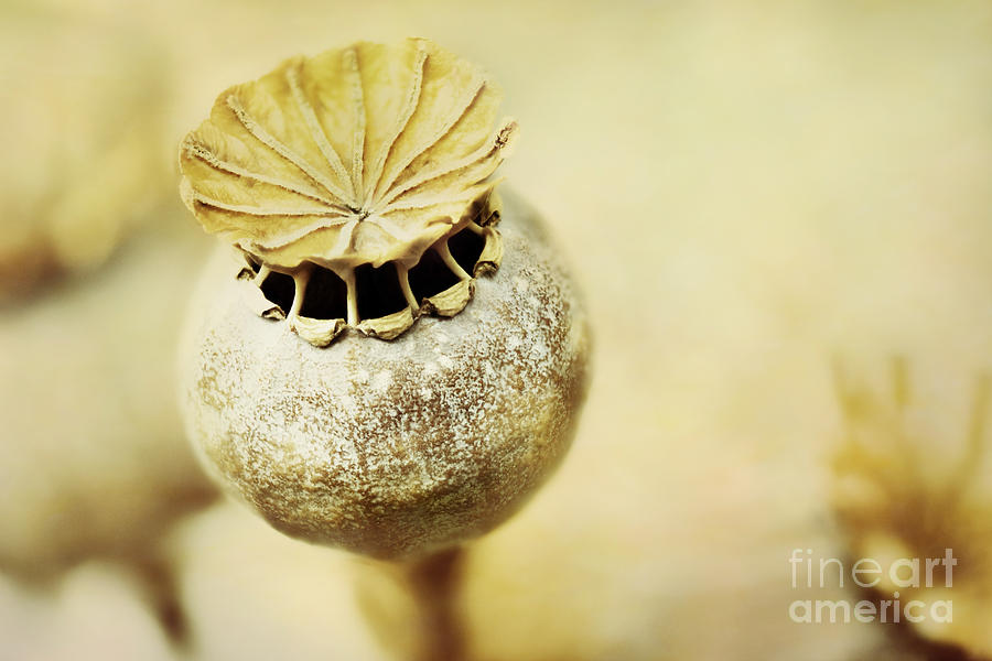 Dry poppy seed head photograph by onelia pgphotography poppy photograph dry poppy seed head by onelia pgphotography mightylinksfo Gallery