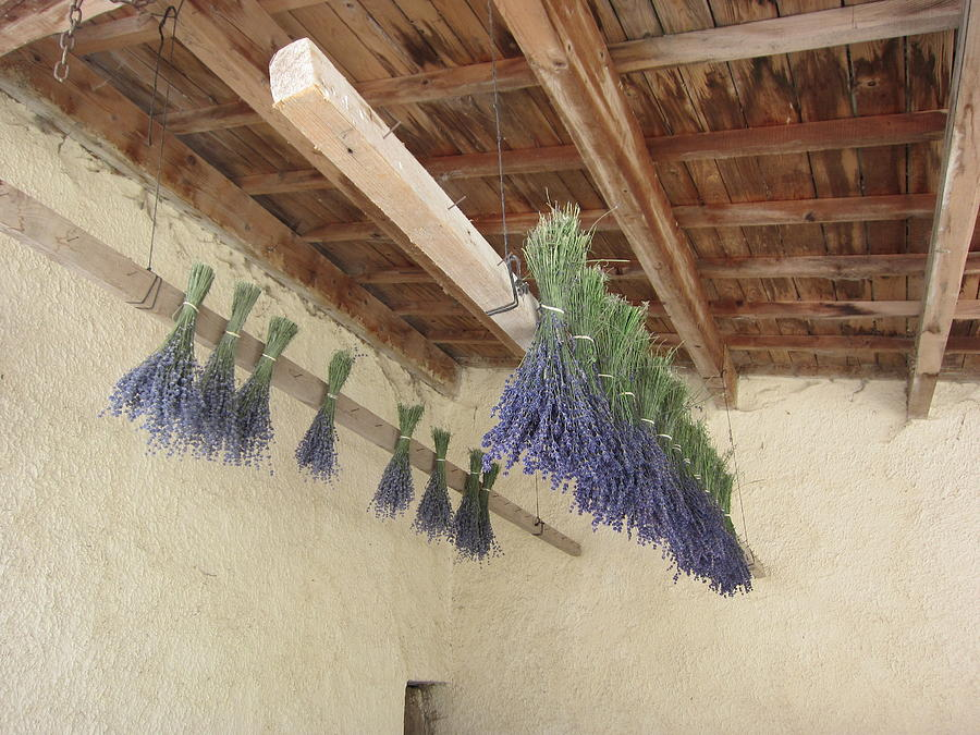 Lavender Photograph - Drying Lavender by Pema Hou