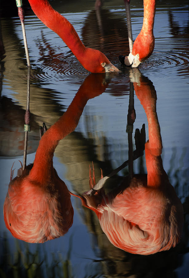 Pink Photograph - Dual Flamingo Reflections by Dave Dilli