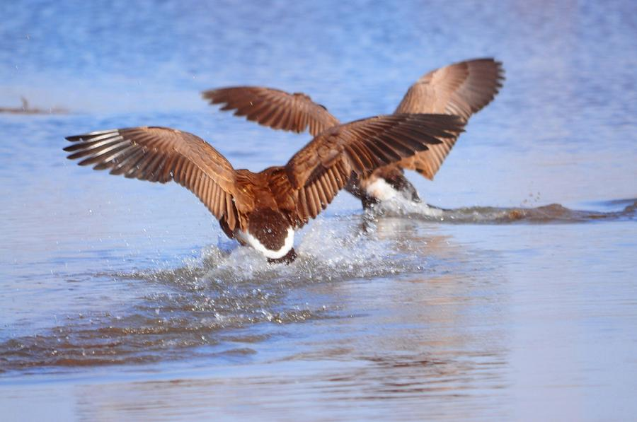 Geese Photograph - Dual Landing by Valarie Davis