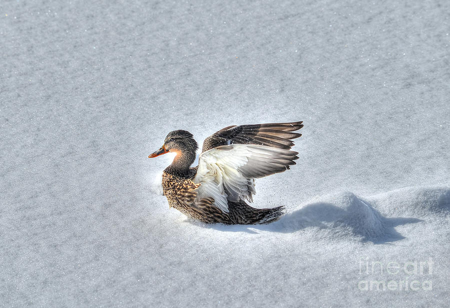 Duck Photograph - Duck Angel by Skye Ryan-Evans