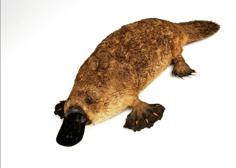 Duck-billed Platypus Photograph by Ucl, Grant Museum Of Zoology