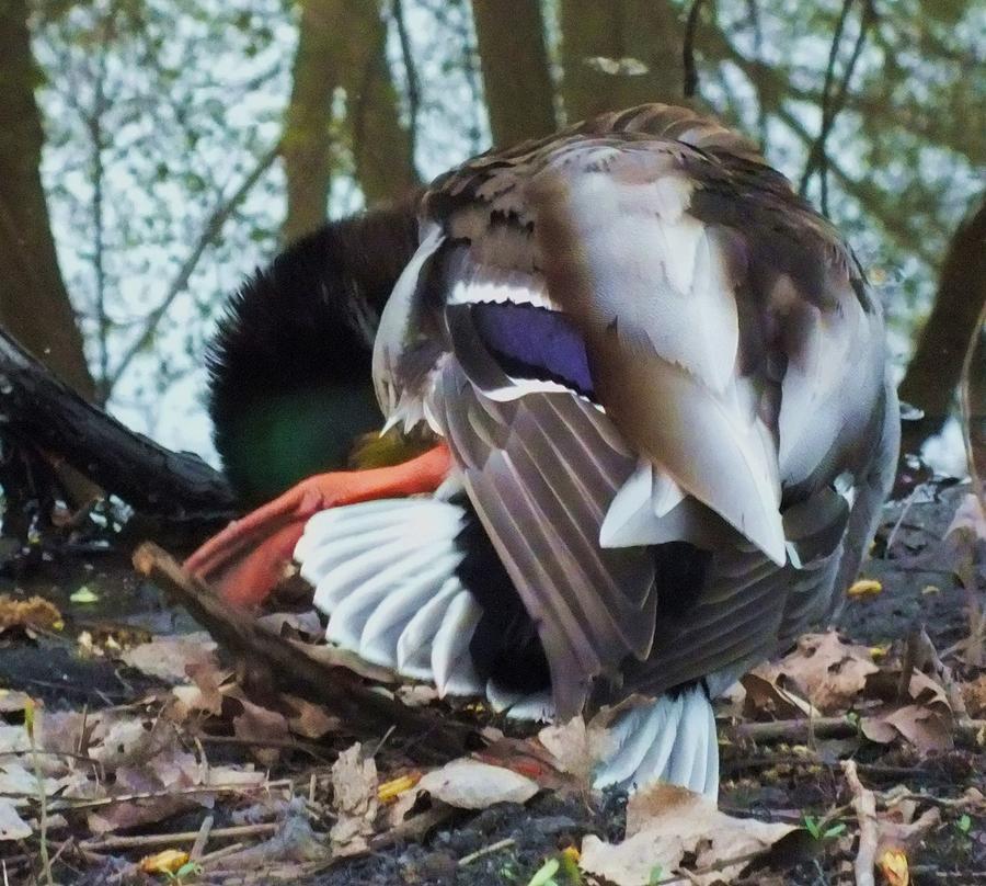 Duck Photograph - Duck Dance by Anna Villarreal Garbis