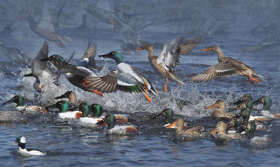 Animals Photograph - Duck Frenzy by Angie Vogel
