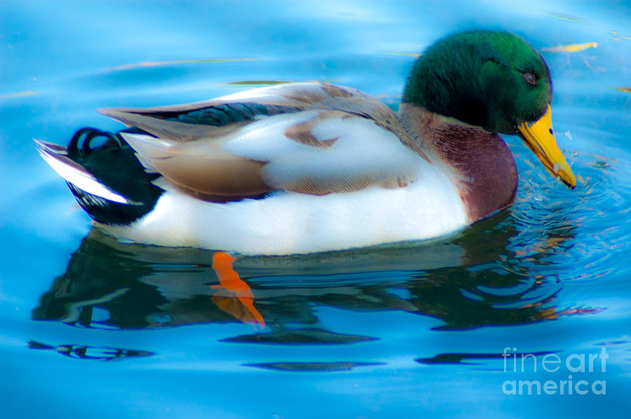 Duck Glide Photograph