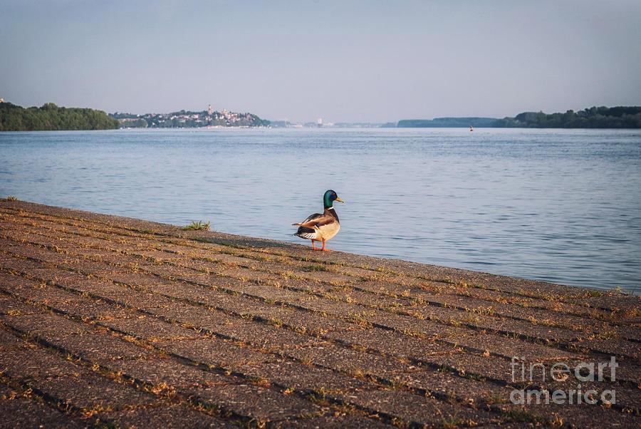Landscape Photograph - Duck In The Morning Sun by Milica Ljevaja Stojanovic