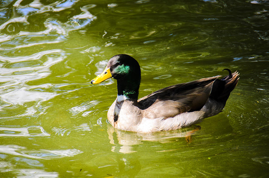 Animal Photograph - Duck In The Park by Sotiris Filippou
