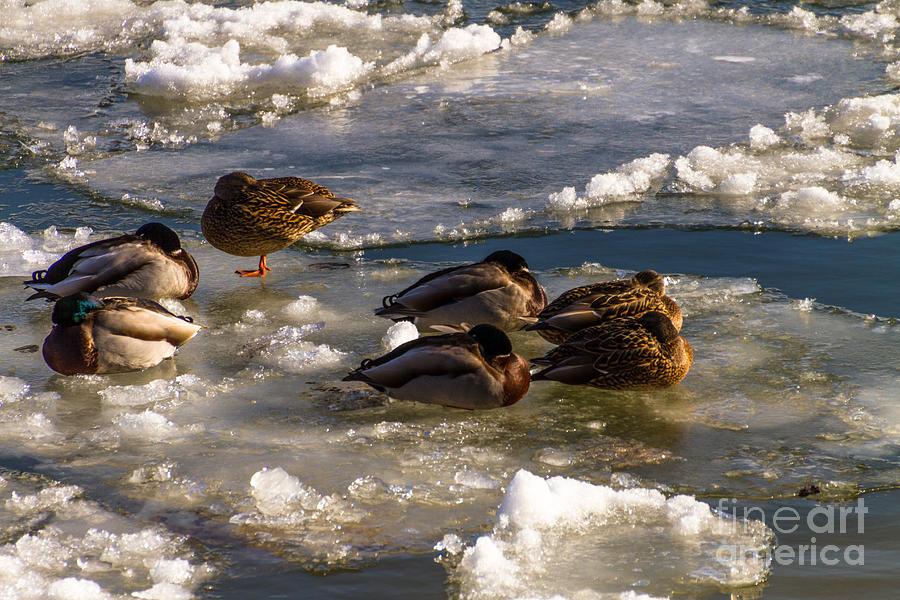 Duck On Ice Photograph